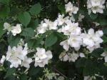Flor del Azahar