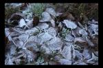 Helada en las hojas