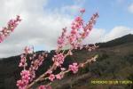 Flores del Melocotonero