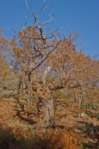 Castaño de Calabazas Singular (seco)