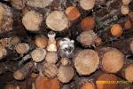 Escondiéndose entre troncos