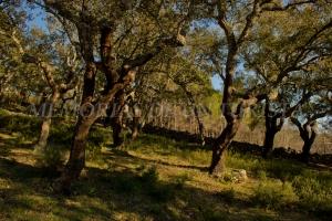 Bosque de Alcornoques