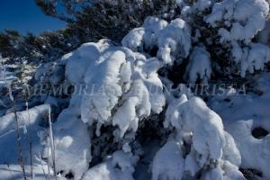 Jaras cubiertas de nieve