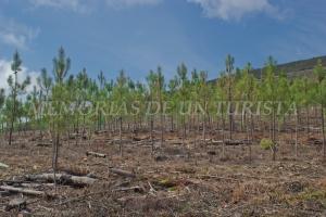 Replantación de pinos