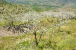 Cerezo en Flor 2013