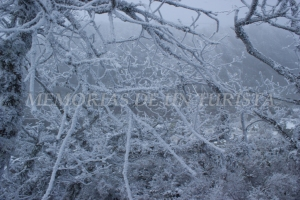 Ramas de roble cubiertas de nieve