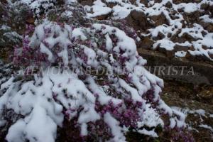 Brezo cubierto de nieve