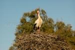 Cigüeña en nido