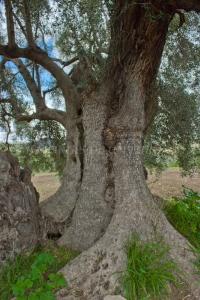 Tronco del Olivo de La Tapada