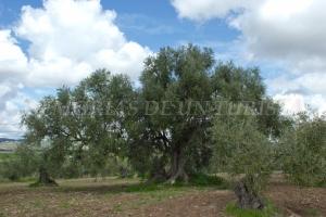 Olivo de La Tapada