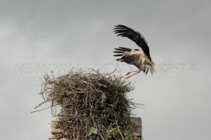 Cigüeña llegando al nido