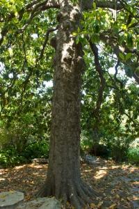 Tronco de la magnolia