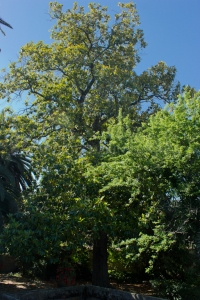 Magnolia de los Durán