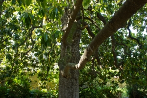Ramas de la magnolia