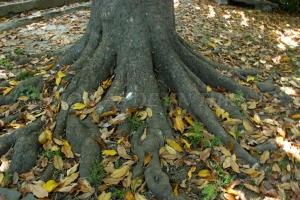 Raíces de la magnolia