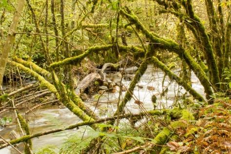 Troncos caídos sobre el Río Muniellos
