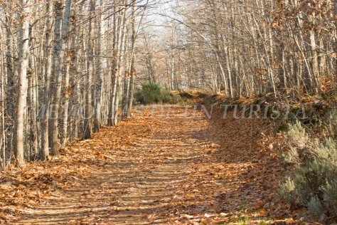 Alfombra de hojas en el castañar