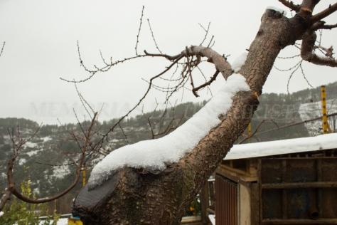 Melocotonero nevado