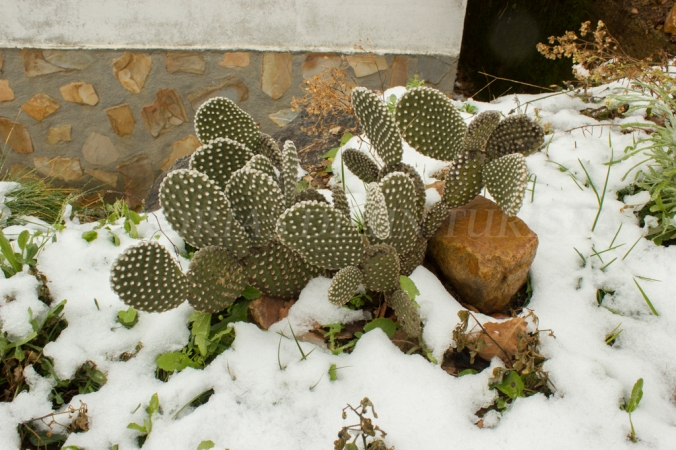 Cactus nevado