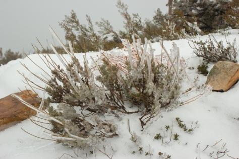 Jaras nevadas